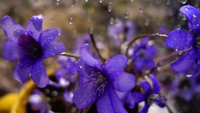 Spring rain on violets, slow motion. Spring rain on wild violet flowers, slow motion video of nature macro stock footage