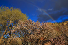 Spring rainbow. A beautiful rainbow arches over trees blooming with pink blossoms in southern Utah, USA Royalty Free Stock Photo
