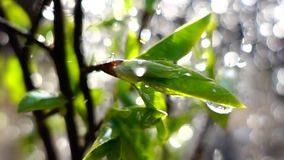 spring raining drops on first leaves, slow motion stock footage
