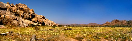 A panoramic view of Joshua Tree National Park after the spring rains and a carpet of yellow flowers blooming. royalty free stock image