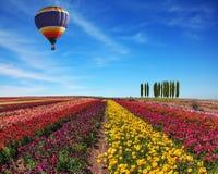 Spring  ranunculus Stock Image