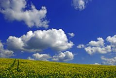 Spring rape field Royalty Free Stock Images