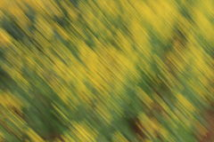 Spring rapeseed flowers  background. Abstract the  rapeseed  flowers background , Abstract pattern formation of yellow green Stock Photo