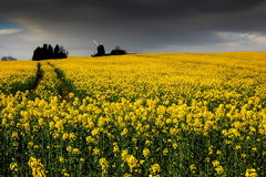 Spring rape flower field Royalty Free Stock Image