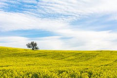 Spring rapeseed. In the cloudy day and a tree Stock Image