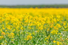 Spring rapeseed field yellow flowers blossom Royalty Free Stock Images