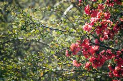 Spring red apple flowers Royalty Free Stock Photos