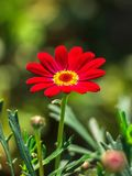 Red Chrysanthemum Flower in Green Background royalty free stock images