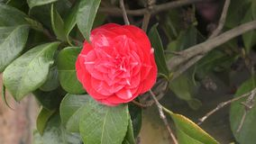 Spring. Red flower on a branch. stock footage