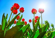 Spring red flower tulips bunch dutch flowers Stock Photos