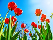 Spring red flower tulips bunch dutch flowers Royalty Free Stock Photo