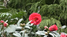 Spring. Red flowers on a branch. stock video footage