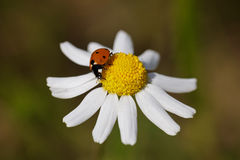 Spring. A Red Ladybug on the Top of a Daisy Royalty Free Stock Photos