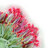 Spring red parrot tulips bouquet Royalty Free Stock Photography