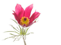 Spring red and pink flower Pulsatilla patens Stock Photo