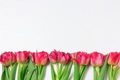 Spring red and pink tulips on white background. Wide panoramic floral border. With space for text stock photo