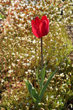Spring red tulip Royalty Free Stock Photography