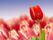 Spring Red tulip on a field Stock Images