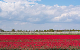 Spring red tulip fields and blossomig apple orchard Stock Image