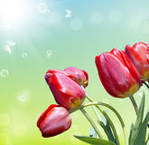 Spring red tulip Stock Images