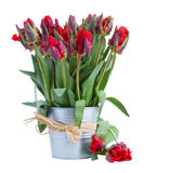 Spring red tulip flowers in pot Stock Photos