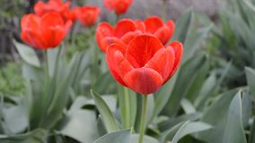 Spring red tulip under rain stock video footage