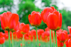 Spring red tulips. A field of beautiful red tulips Royalty Free Stock Photo