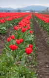 Spring red tulips in bloom landscape stock photography