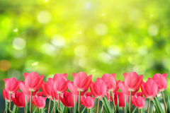 Spring red tulips. Stock Photos