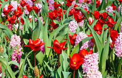 Spring red tulips and pink hyacinths (closeup) Stock Images