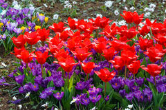 Spring red tulips and purple crocuses (closeup) Stock Images