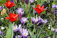Spring red tulips and purple crocuses (closeup) Stock Photo