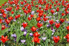Spring red tulips and purple crocuses (closeup) Royalty Free Stock Photo