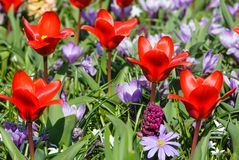 Spring red tulips and purple crocuses (closeup) Stock Photos
