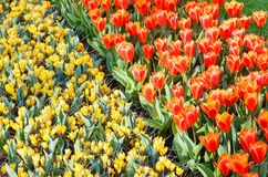 Spring red tulips and yellow crocuses (macro) Royalty Free Stock Photo