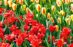 Spring red and yellow tulips close-up. Stock Photography