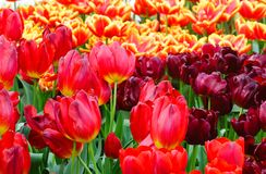 Spring red and yellow tulips close-up. Stock Photos