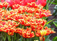 Spring red-yellow tulips (closeup) Royalty Free Stock Image