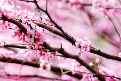 Spring redbud blossoms Royalty Free Stock Photo