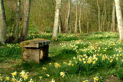 Spring Retreat - Scotland. Daffodil meadow with stone bench - Montrose, Scotland Stock Images