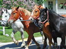 Spring Return of the Horses to Mackinac Island. A photograph of a string of four horses being led back onto Mackinac Island Michigan in the spring after being Royalty Free Stock Photography