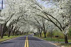 Spring Road. White Spring blossoms overhang this country road in Holmdel, New Jersey Stock Photo