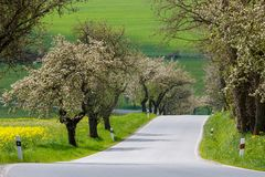 Spring road with alley of cherry in bloom. Road with alley of cherry trees in bloom in spring time Stock Photo