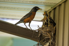 Spring Robins. Being fed in the nest Stock Image