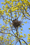 Spring. The rook costs in a nest on branches of the blossoming m Stock Images