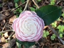 Spring& x27; rosa Camelia de s Fotografia de Stock Royalty Free
