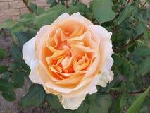 Spring Rose Stock Image
