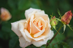 Spring Rose Bloom Stock Image