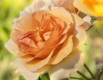 Spring Rose Blossom Royalty Free Stock Images
