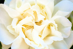 Spring rose bush with white flower Royalty Free Stock Photography